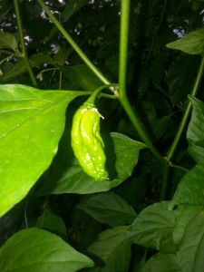 Immature Buht Jolokia (ghost pepper)